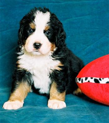 Бернский зенненхунд (бернская овчарка) - самая красивая собака в Мире...